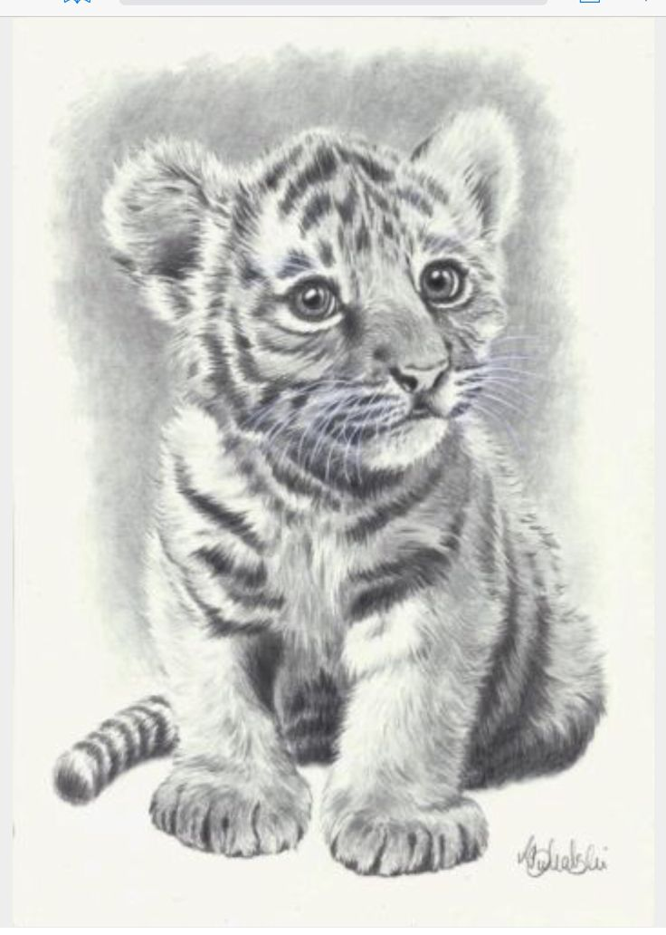 Wild animal print of an original pencil drawing baby tiger size credits to original owner