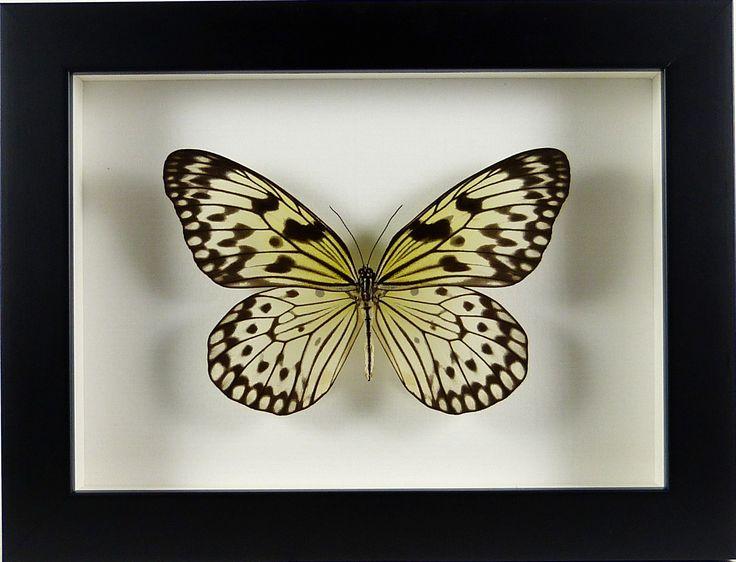 Cadre noir papillon exotique Idea leucone