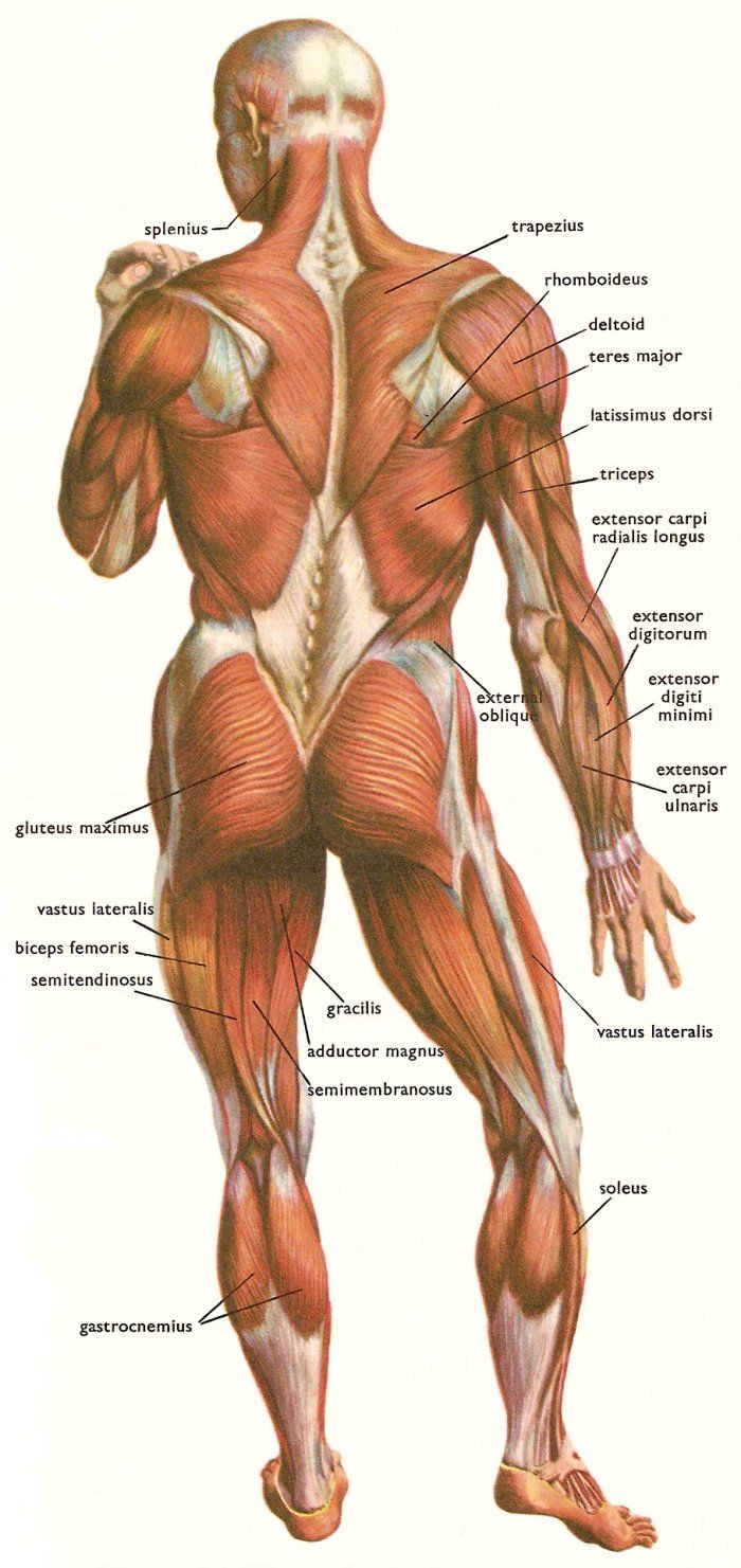 Often in depictions of the anatomy different colours will be used for the muscles and tendons to distinguish between them. In this illustration we can see the use of white to represent the tendons. Tendons don't bulge and change shape like muscles. Furthermore they are used to attach muscles to the skeletal structure