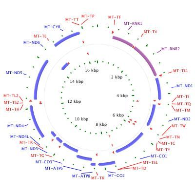 Mitochondrial DNA is a circular structure with 37 genes. t R N A s are produced…