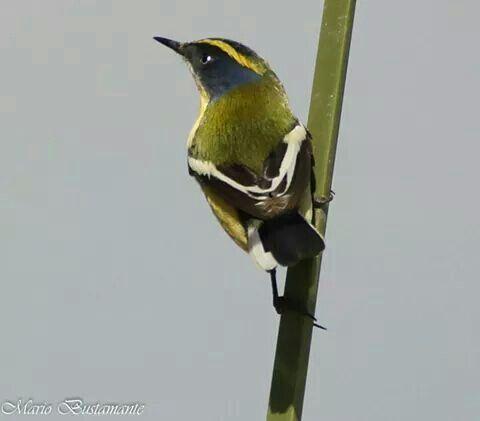 Sietecolores ave chilena