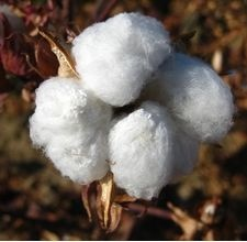 SBG thinks this is way cool for crafty folks.  How to Plant & Grow Cotton