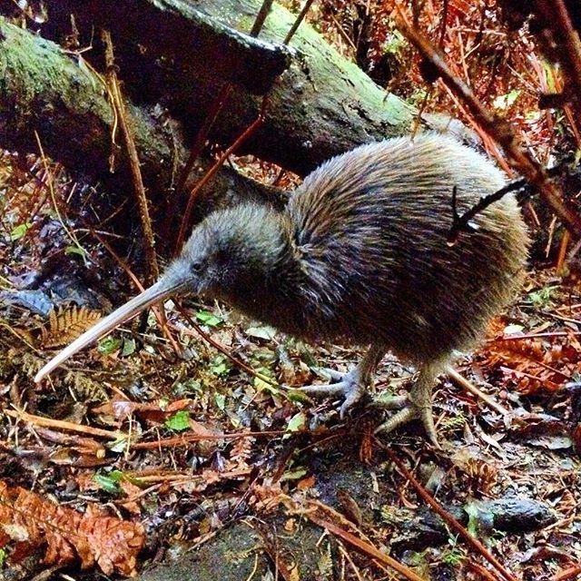 Kiwi!!! So pumped to see this little fella in the wild on Ulva Island down on Stewart Island! #kiwi #newzealand #capturenz