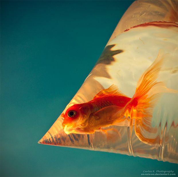 Fancy goldfish goldfish pinterest for The fancy fish