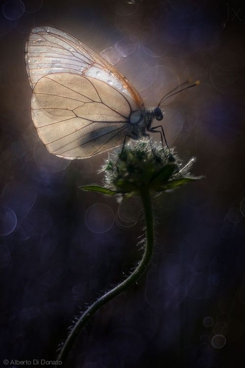 "~ ""     ~  ""White butterfly / dancing among pinks - / whose spirit?""  ~  SHIKI ~"