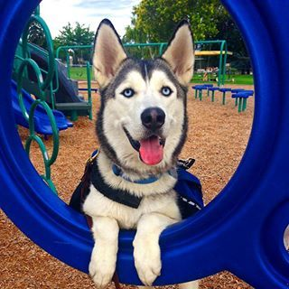 Ranier the service dog Siberian Husky