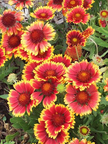 Blanketflower (heat and drought-tolerant wildflower, great for borders with poor soil) ~ this also links to 20 other perennials that are great for cutting