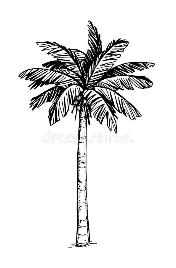 Coconut Palm Tree Hand Drawn Vector Illustration Of Coconut Palm