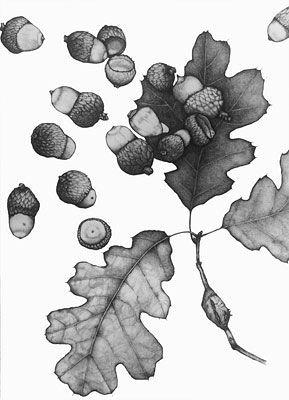 California Black Oak, Quercus kelloggii (Graphite Pencil Drawing) by Suzanne Olive