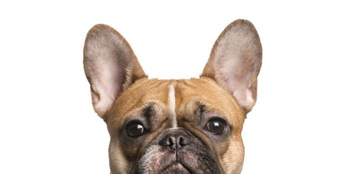 texte de la pétition: Crufts dog show: stop promoting painful and life-limiting inbreeding!, United Kingdom