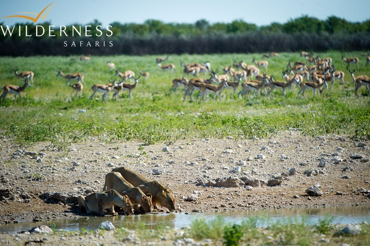 Andersson's Camp is situated in the Ongava Game Reserve on the southern boundary of Etosha National Park, which is Namibia's premier wildlife destination. #Safari #Africa #Namibia #WildernessSafaris