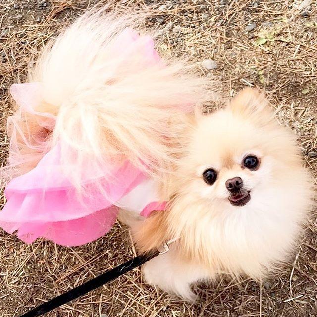 。 。 お散歩だーいすき💕 笑顔っ笑顔っ♪😊 。 。  #pomeranian #pome #ポメラニアン #ポメ  #smile #モデル犬 #愛犬 #撮影モデル #撮影  #笑顔 #love #dogPhoto #お散歩  #cute #可愛い #大好き #好き  #dog #パピー もどき❤️ #ポメラニアンが世界一かわいい  #カメラ #camera #カメラ女子 #写真  #フリフリ #ティーカップポメラニアン  #カメラ好きな人と繋がりたい  #写真好きな人と繋がりたい  #写真を撮るのが好きな人と繋がりたい  #ポメラニアン部