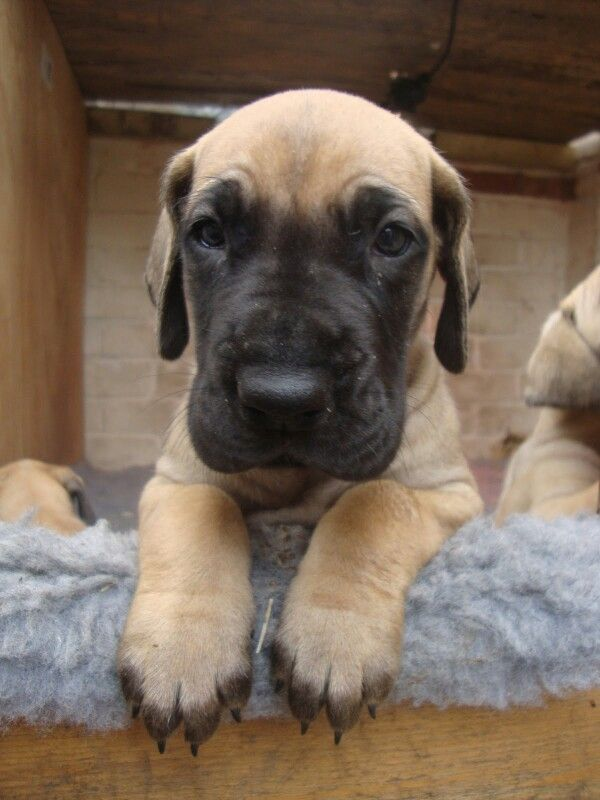 Great Dane puppy ~ beautiful fawn. I love his dark face.