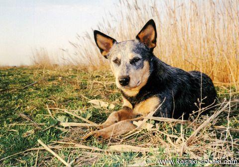 Австралийская пастушья собака. Продам  щенков  фото