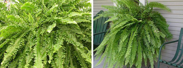 samambaia-de-boston  plantas que purificam o ar