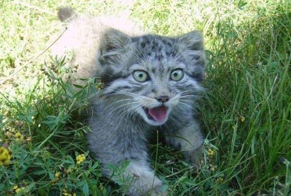 Фермер нашел непростых котят манул, кошки и котята, кот, Котята манула, длиннопост