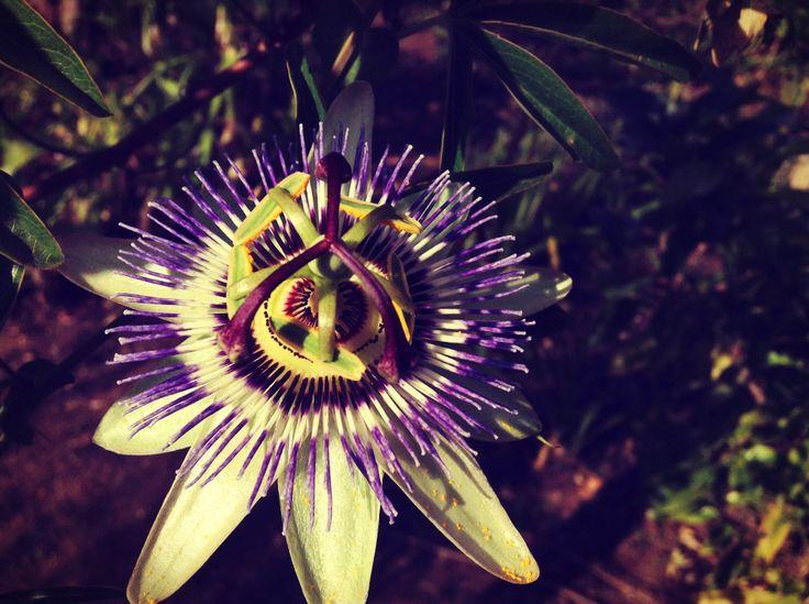 Lo moradito de mi corazón Passiflora Caerulea, comúnmente llamada Murucuyá, Burucuyá (nombres derivados del guaraní), Pasionaria, Flor de la Pasión o Pasionaria Azul, es una especie de trepadora nativa del sur de Sudamérica: Paraguay, Argentina, Bolivia, Brasil, Uruguay y Perú.