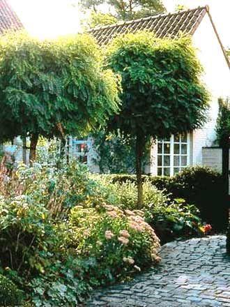 fuer den vorgarten robinia pseudo umbraculifera kugel