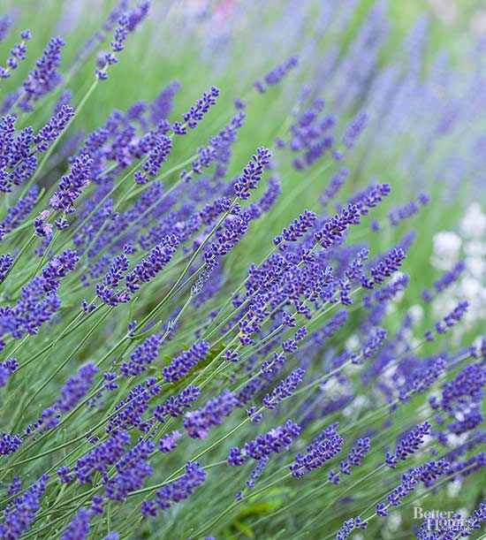 Growing lavender flowers is easy only when you analyze your garden soil, location, and climate.