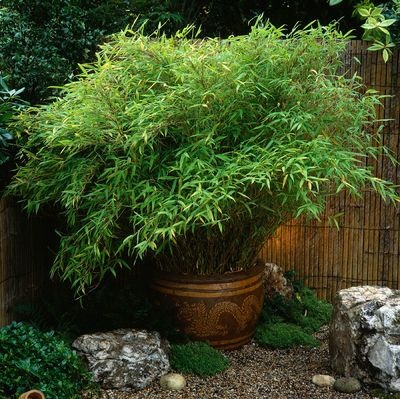 Fargesia murieliae 'Simba' in pot. Design by Natural & Oriental Water Gardens.