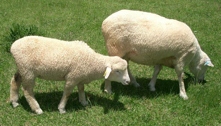 羊のもこもこ