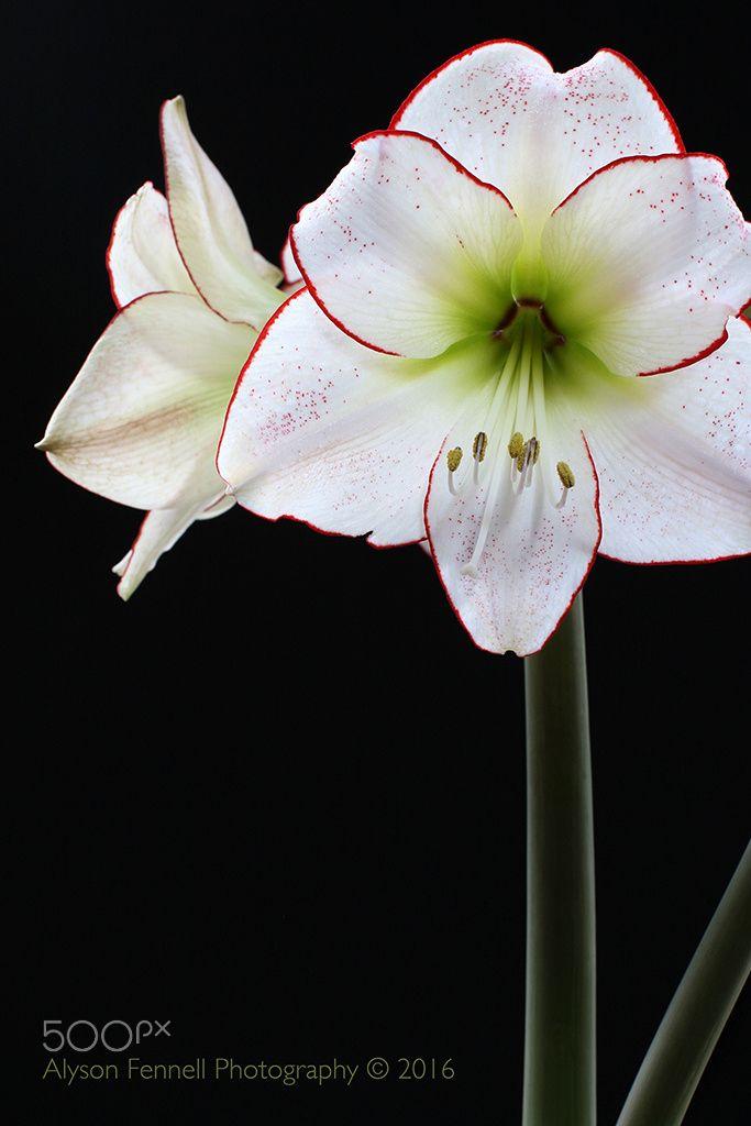 Amaryllis - Amaryllis Flower