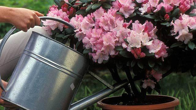 Der Rhododendron zählt zu den beliebtesten Sträuchern in Deutschlands Gärten. Kein Wunder, denn schon im Frühling begeistert er das Gärtner-Herz mit seiner atemberaubenden Blütenfülle. So sorgen die farbenfrohen Rhododendren schon für Farbtupfer i...