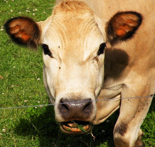 Why Grass-Fed Meat Is Healthier Than Grain-Fed: An Epic Series | The Bulletproof Executive