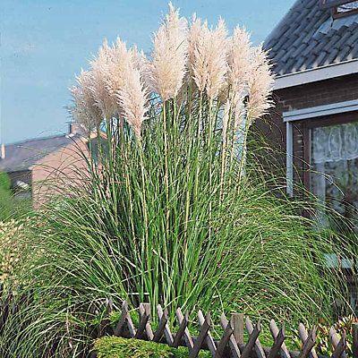 Les 25 meilleures id es concernant herbe de la pampa sur pinterest plantes d 39 ornement et - Herbe de la pampa prix ...