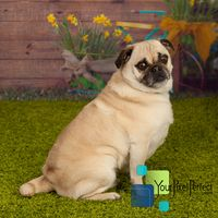 neville - Pug pet adoption in Scranton PA #dogadoption