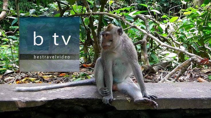 Best of Bali: Ubud Monkey Forest. Sacred Monkey Forest Sanctuary. #bali #baliturism #baliholiday #thingstodoinbali #whattodoibali #baliholidays #holidaystobali #cheapbaliholidays #balitravel #balitour #balitours #bestofbali #indonesia #indonesiatravel #travelindonesia #indonesiaholidays #backpackinginbali #ubud #ubudbali #ubudmonkeyforest #monkeyforestubud #monkeyforest #monkeytemple #foresttemple #monkeyforestubudbali #monkeyforestbali #monkeysanctuary #monkeytemplebali