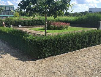Einfassungseibe Hillii Pflanzen Japanischer Garten Steingarten
