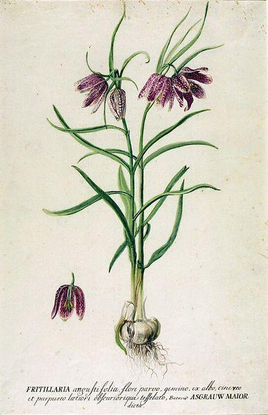 46 best Fritillaria meleagris images on Pinterest Plants