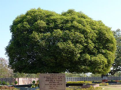 The Bakul sapling planted by Vinoba Bhave and Badshah Khan at the time of Bhoomi Pujan, grew into a tree