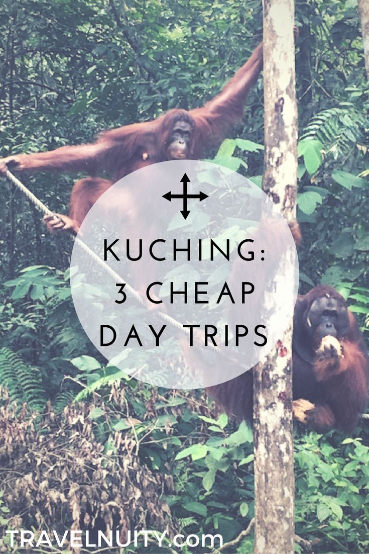 Seeing orangutans in the wild is just one of the cheap day trips available from Kuching, Malaysia