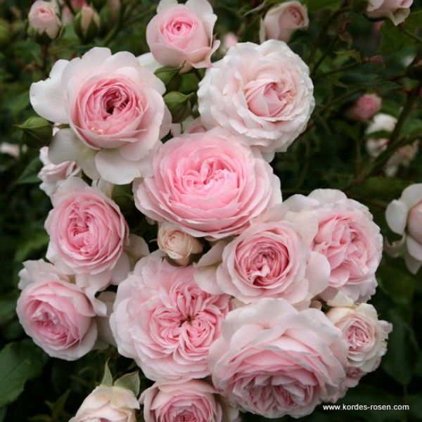 4202 best Rosen images on Pinterest Plants, Beautiful flowers - baldur garten rosen