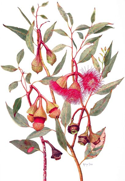 Halina Steele, Australia Botanical Art Society