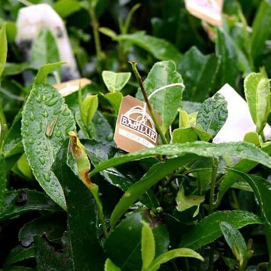 Basilur jest wszędzie..    #tea #teatime #tearoom #basilurpoland #basilur #basilurtea #tealife #teabag #teabags #tealover #herbata   #instatea #czasnaherbate #glutenfree #gmofree #srilanka #teaparty #premiumtea