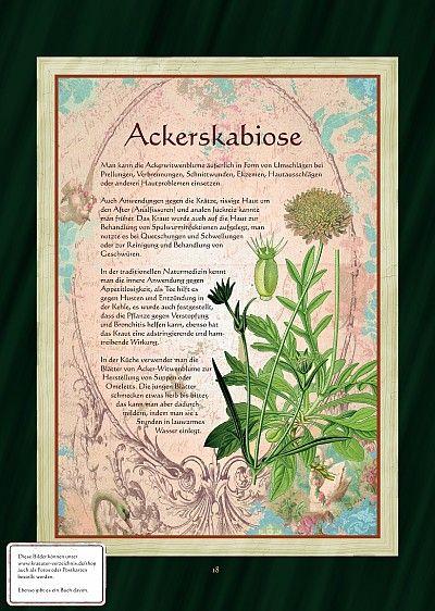 """Bilder aus dem Buch """"Alte Heilkräuter-Zeichnungen"""" Ackerskabiose"""