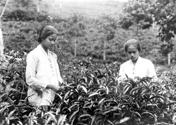 Sundanese women at tea plantation
