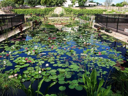 water lily garden | Municipal Water Lily Garden in San Angelo, Texas | Flickr - Photo ...