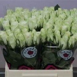 Depozit flori tăiate en gros și Plante la ghiveci en gros online de vanzare – Flori en gros Olanda | Categorii de Produse | Flori taiate