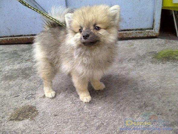 pomeranian sheepdog photo | Dunia Anjing | Jual Anjing Pomeranian - Pomerian Betina Stamboom