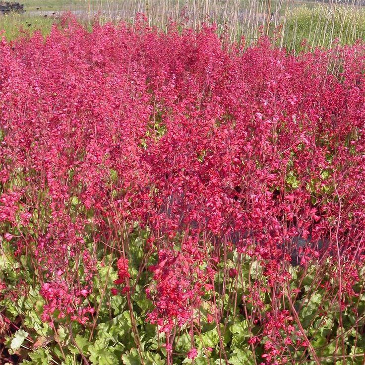 HEUCHERA SANGUINEA SPLENDENS PLANT, Vivaces couvresol