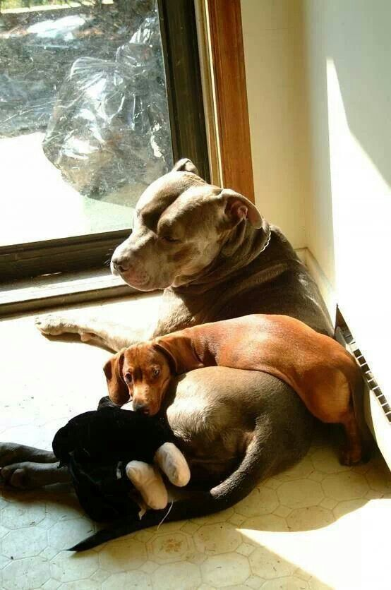 6187 Best Real Women Love Pit Bulls ♡ Images On Pinterest