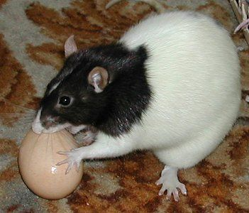 Ratty Toy Ideas | rats love eggs