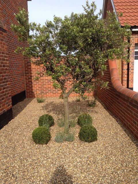 A lovely arbequina Olive tree in our latest garden design