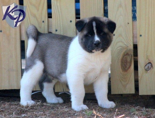 Teddy – Akita Puppies for Sale in PA | Keystone Puppies - $950.00 - Male - 11 weeks - Akita.
