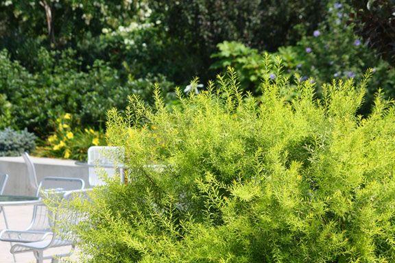 Spiraea Thumbergii follaje verde claro en primavera se llena de pequeñas flores blancas, en otoño toma tonos rojizos. Extremadamente resistente a la poda, se cortan desde la base los tallos envejecidos para dar paso a nuevos brotes.