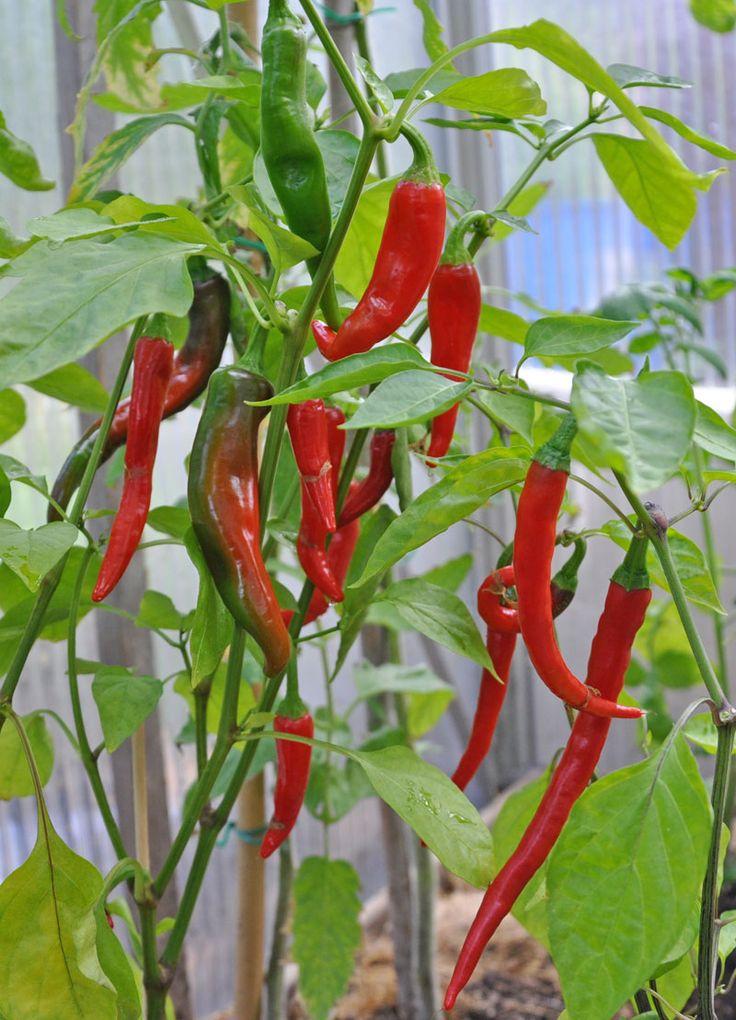 Chilipeppar 'De Cayenne'